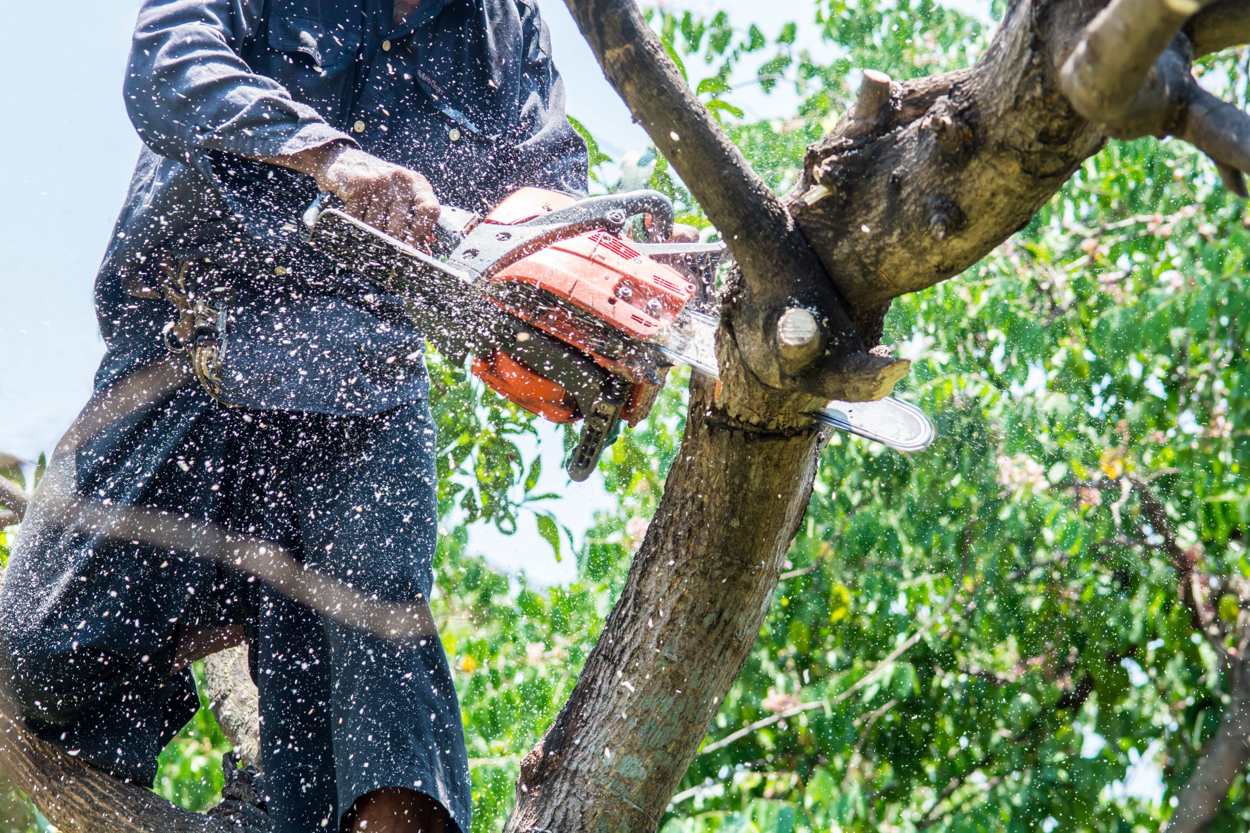 billede af en mand der udfører grøn pleje og beskærer et træ